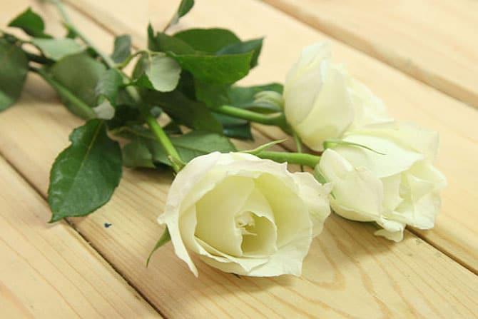 rosas-arco-iris