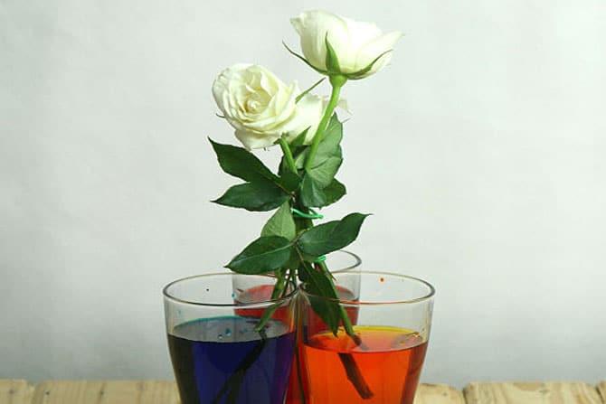 rosas-arco-iris_11