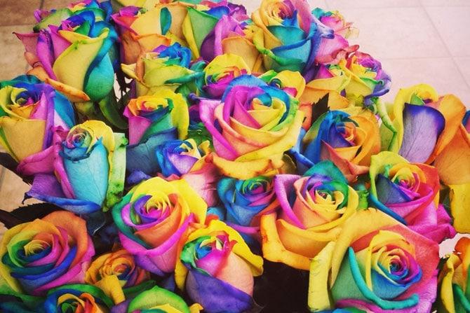 rosas-arco-iris_13